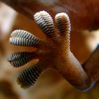 Gecko toes.png