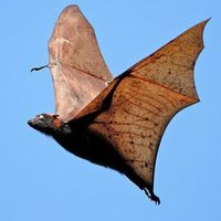 Golden-crowned-flying-fox.jpg